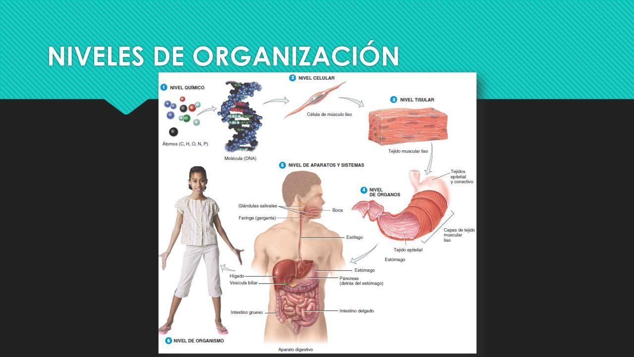 Anatomía y Fisiología I Md. Alejandra Castillo M.. - ppt descargar