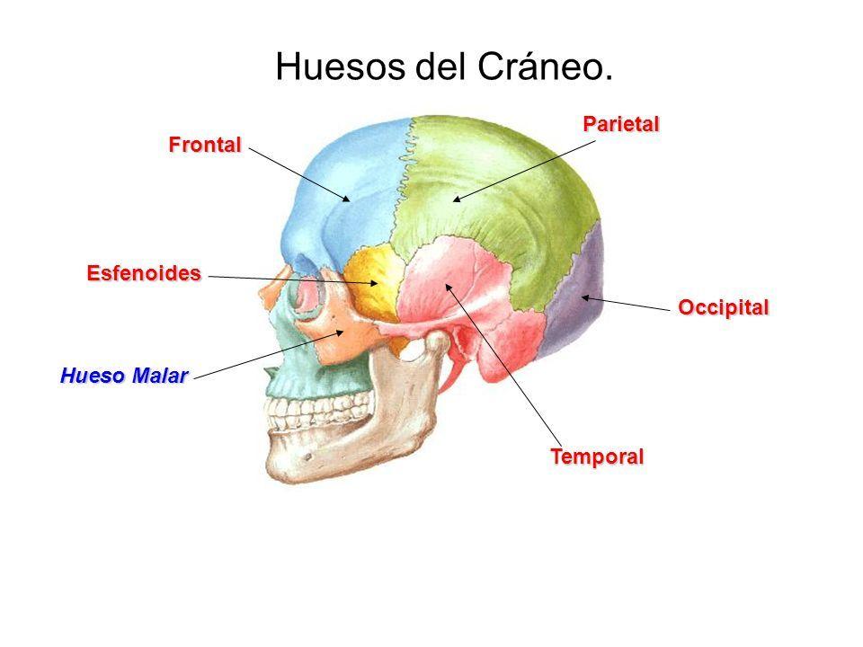Huesos del Cráneo. Frontal Parietal Occipital Temporal Esfenoides ...