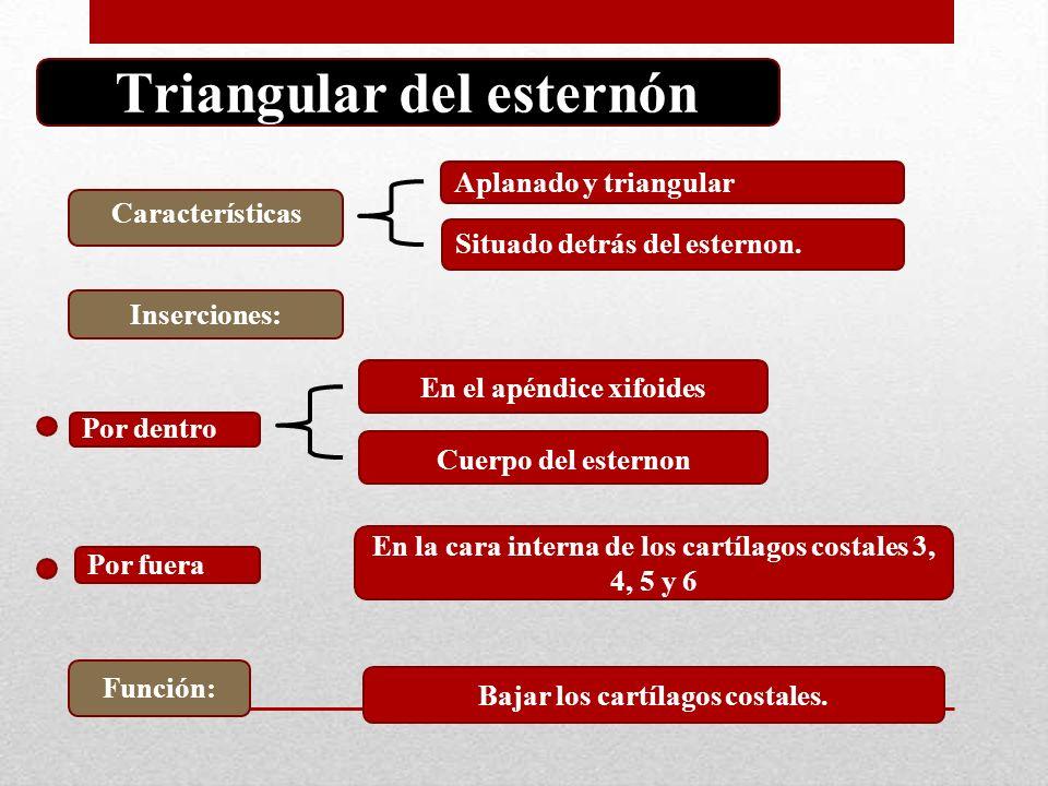 Moderno Función De Proceso Xifoides Viñeta - Anatomía de Las ...