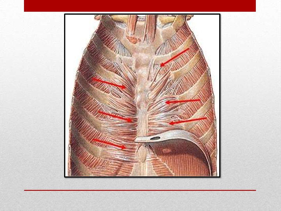 Músculos delDorso La columna vertebral recibe todo el peso del ...