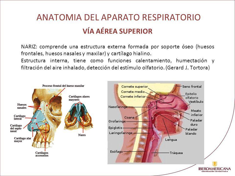 ANATOMIA Y FISIOLOGIA PULMONAR CAROLINA MARTINEZ CALDERON - ppt ...