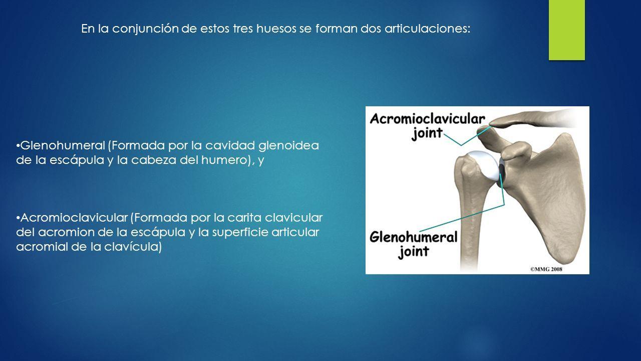 Los hombros son la región anatómica donde se unen los brazos al ...