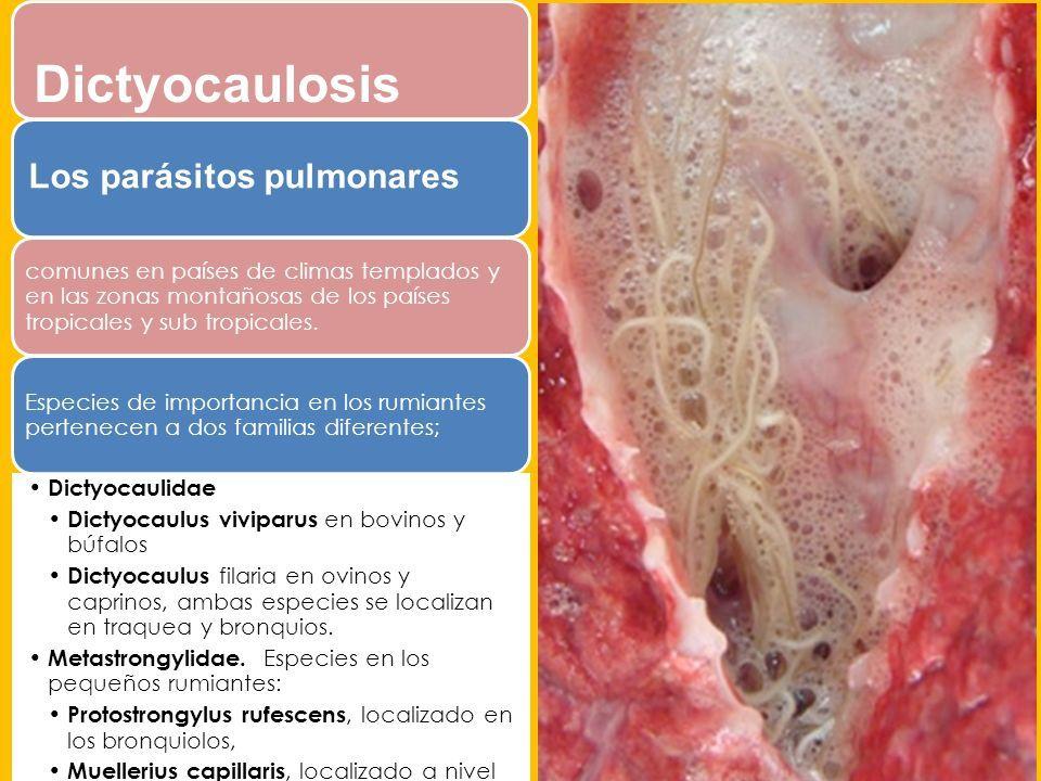 sintomas de parasitos pulmonares en bovinos